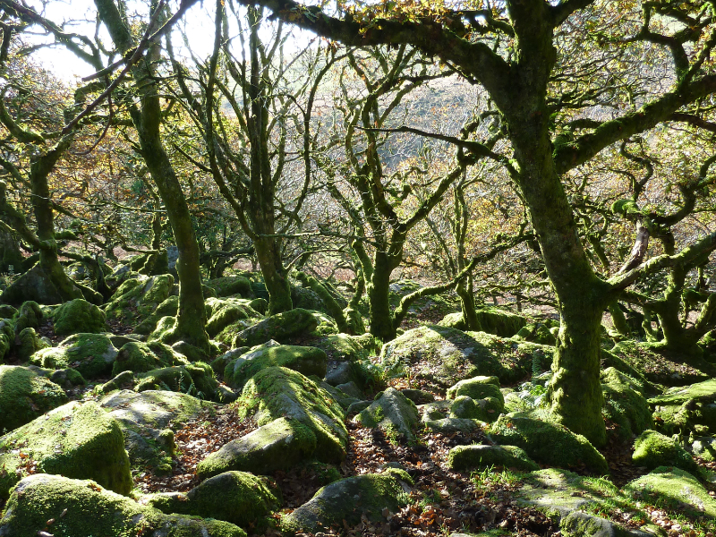 Wistman's Wood on Dartmoor, Devon
